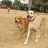 Axel, Mimi, 001, august 12, pitbull, queen, ayora