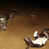 ayora, august11,naia, Sade, pitbull, pup, pups