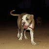 Tiger (american bully boy pup)_001