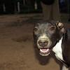 Sade, pitbull, ayora, ELIAN'S PHOTOS