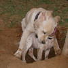 Chupi, ayora dog_001