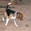 Ayora dog beagle_002