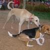Ayora Dog beagle, Rubia_001