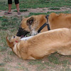 Ayora dog, Maya_002