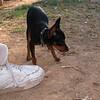Brutus (puppy boy)_002