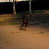 Brutus (puppy boy)_004