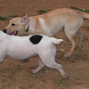 Byron, Kira (french bulldog)_001