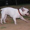 Ayora dogs (french bulldog)_002