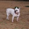 Ayora dogs (french bulldog)_001