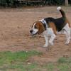 Hugo (boy beagle)_001
