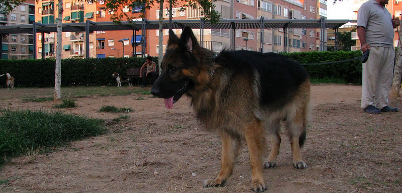 Ayora dog, shepherd_001