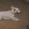 Ayora dog spaniel_001