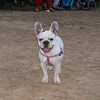 Ayora french bulldog girl_001