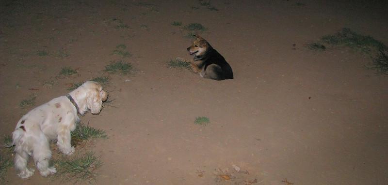 Ayora dog spaniel, Maddie_001