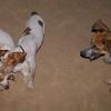 Chupi, Ayora dog spaniel, Barney_001