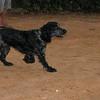 Ayora dogs spaniel_001