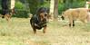 teko dachshund boy