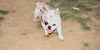 Alice (girl, french bulldog, pup, new)_003