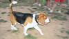 Hugo (boy, beagle)_001