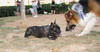 Audrey (girl, french bulldog), Barney (boy)_001