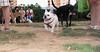 Alice (girl, french bulldog, pup, new)_008