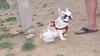 Alice (girl, french bulldog, pup, new)_006