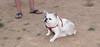 Alice (girl, french bulldog, pup, new)_005