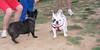 Alice (girl, french bulldog, pup, new)_002