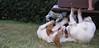 Chupi (boy, puppy), West (boy)_002