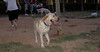 Duna ( girl, yellow lab, retriever)_005