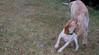 Chupi (puppy, boy)_002