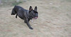 Audrey (french bulldog)_003