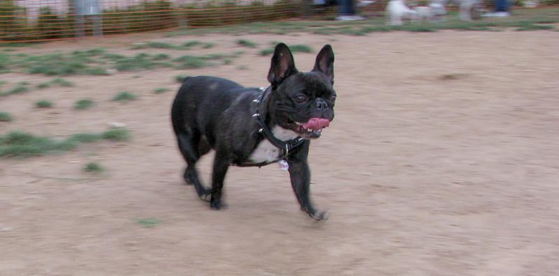 Audrey (french bulldog)_002