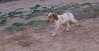 Chupi (puppy boy britany)_003