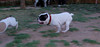 French bulldogs_018
