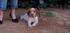 Chupi (puppy boy britany)_005