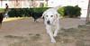 Caan (golden retriever pup girl)_001