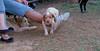 Chupi (puppy boy britany)_004