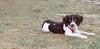 Leo (britnany, pup, boy)_003