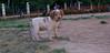 Chupi (puppy boy britany)_002