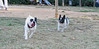 French bulldogs_015