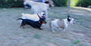 French bulldogs_016