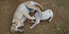 Chupi (boy puppy), Nela (girl puppy)_003
