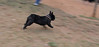 Audrey (french bulldog)_001