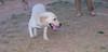 Senda (puppy 1st time lab girl)_001