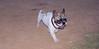 French bulldog_001