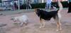 Senda (puppy 1st time lab girl), Maddie_001
