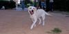 Senda (puppy 1st time lab girl)_002