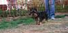 Badie (puppy boy)_002