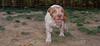 Chupi (boy puppy)_001